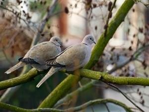Palomas sobre una rama