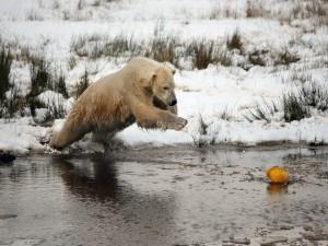 Oso polar tratando de atrapar un objeto amarillo