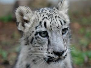Cachorro de leopardo de las nieves