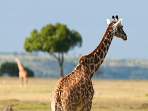 Una hermosa jirafa