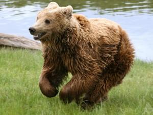 Un joven oso corriendo por la hierba