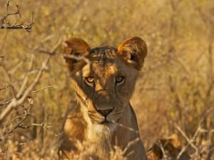 Un joven león