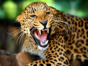 Leopardo mostrando los colmillos