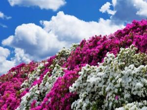 Azaleas bajo un cielo azul con nubes