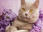 Gato British Shorthair entre lilas