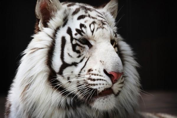 Cabeza de un tigre blanco