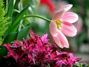 Tulipán rosa sobre unas hojas fucsias