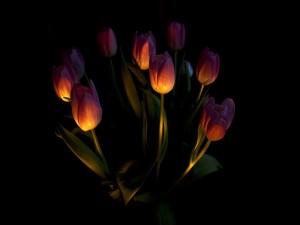 Tulipanes iluminados en un fondo oscuro