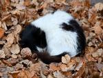Gatito negro y blanco acurrucado sobre hojas de otoño