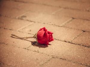 Una solitaria rosa roja tendida en el pavimento