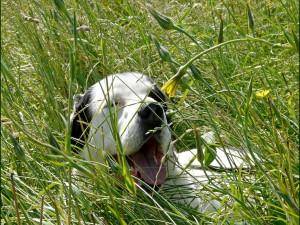 Perro blanco y orejas negras acostado entre la hierba verde