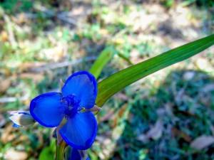 Flor azul con largas hojas verdes