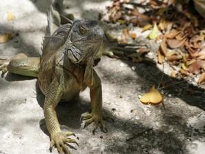Gran iguana caminando