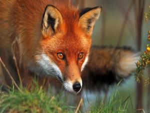 La mirada de un zorro rojo