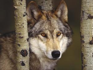 Lobo entre los árboles