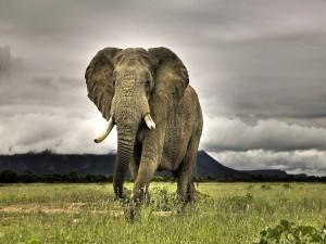 Gran elefante africano caminando
