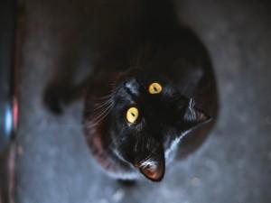 Un gato negro observando con sus ojos amarillos