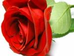 Rosa roja sobre un fondo blanco