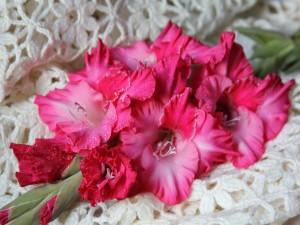Gladiolo rosado con gotitas de agua sobre una bufanda blanca