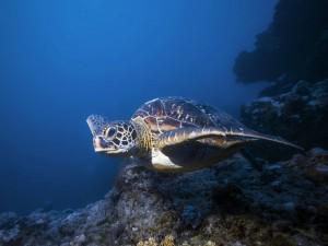 Una hermosa tortuga nadando bajo el océano