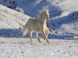 Un hermoso caballo blanco trotando en la nieve