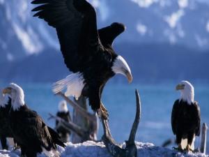 Nido de águilas en un frío lugar