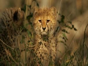 Un cachorro de guepardo
