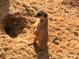Un suricata quieto sobre la arena