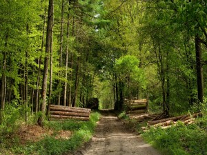 Árboles talados en un bosque