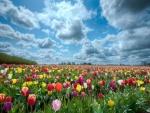 Un gran campo de tulipanes