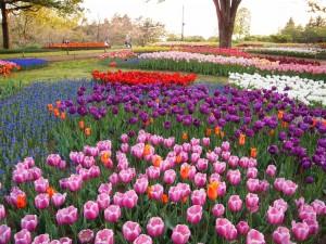 Tulipanes de colores en un parque