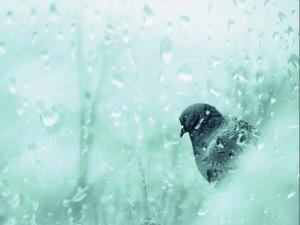 Paloma tras un cristal mojado