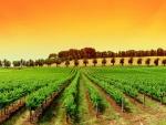 Cielo anaranjado sobre un viñedo