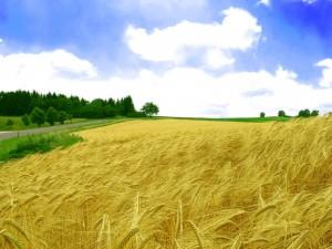 Hermosas espigas de trigo