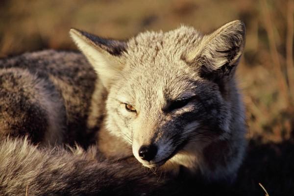 Un zorro recibiendo el calor del sol