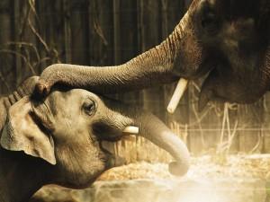 Elefante acariciando con su trompa la cabeza de otro elefante