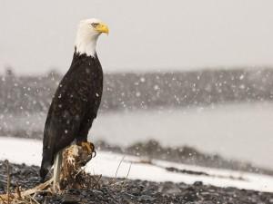 Águila quieta bajo la nieve