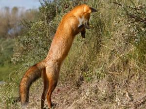 Un zorro sobre las patas traseras