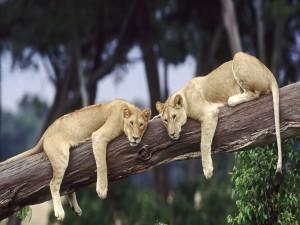 Dos leonas tumbadas sobre un tronco