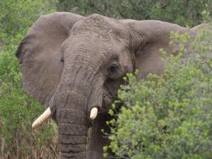 Un elefante entre los arbustos