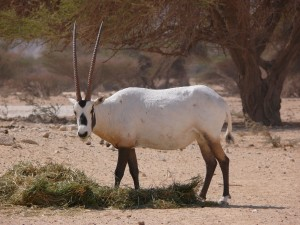 Órix de Arabia (Oryx leucoryx)
