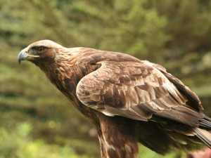 Hermosa águila real