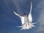 Charrán ártico volando
