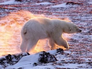 Oso polar sacudiendo el agua de su cuerpo