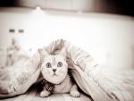 Gato sorprendido bajo el edredón