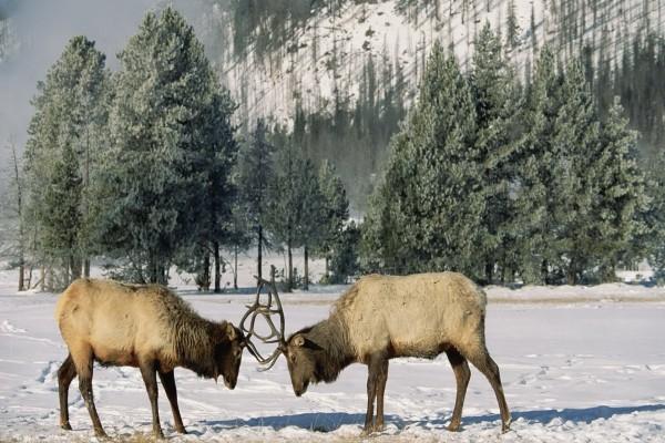 Ciervos luchando en la nieve