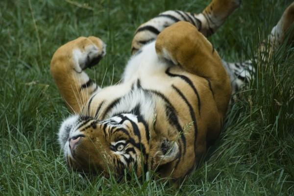 Tigre jugando en la hierba