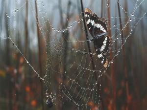 Mariposa atrapada en una tela de araña