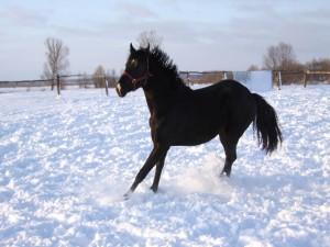 Caballo negro sobre la nieve