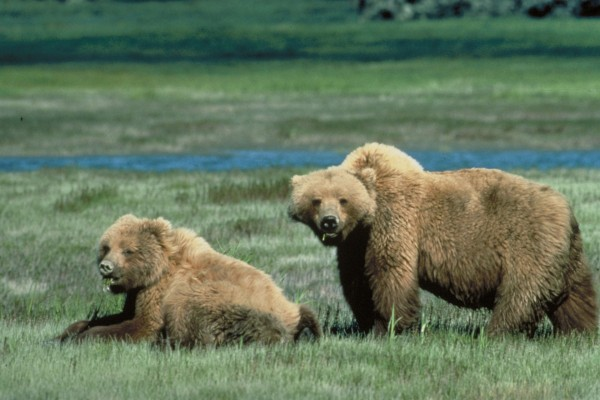 Osos comiendo hierba